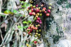Racemosa фикуса в лесе зрело стоковое фото rf