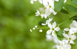 Racemosa de florescência bonito do exochorda da mola A mola branca floresce em um fundo do bokeh das folhas verdes imagem de stock royalty free
