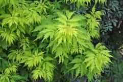 Racemosa do Sambucus do arbusto da pessoa idosa de Culeaf Imagem de Stock