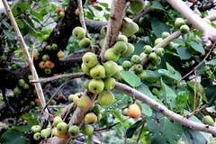 Racemosa Ficus, δέντρο σύκων συστάδων, ινδικό δέντρο σύκων, Goolar Στοκ Φωτογραφίες