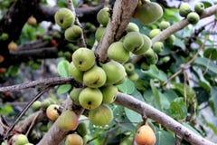 Racemosa Ficus, δέντρο σύκων συστάδων, ινδικό δέντρο σύκων, Goolar Στοκ φωτογραφίες με δικαίωμα ελεύθερης χρήσης