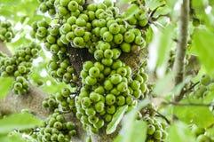 在树(榕属racemosa Linn的群无花果。) 库存图片