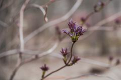 Racemosa rouge de bourgeonnement de Sambucus de baie de sureau dans le printemps Photographie stock libre de droits