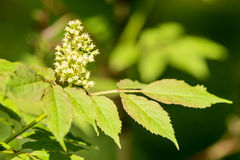 Racemosa Sambucus Стоковые Фото