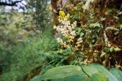 Racemosum falso plumoso del Maianthemum del lirio de los valles que florece en un bosque en área de la Bahía de San Francisco, Ca fotos de archivo