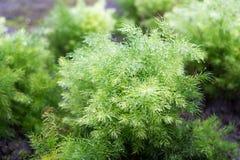 Racemosus Willd ou Shatavari do aspargo Fotos de Stock