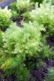 Racemosus Willd ou Shatavari do aspargo Imagem de Stock Royalty Free