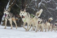 Racen av formulerar hundkapplöpning Arkivfoton