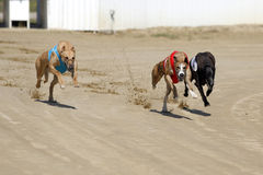Racer dogs at the dog race start Royalty Free Stock Images