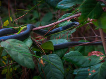 A Racer snake in the trees. Royalty Free Stock Images