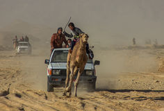 Races of camels in Egypt. Equestrians are children Royalty Free Stock Photography