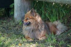 Races de chien du repos allemand de Spitz Photographie stock