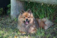 Races de chien du repos allemand de Spitz Images libres de droits