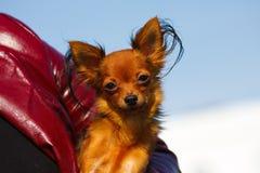 Races de crabot du chien terrier de jouet aux mains de l'homme Photo stock