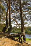 Raíces de un pino Fotografía de archivo