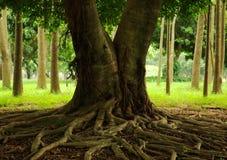 Raíces del árbol Fotografía de archivo libre de regalías