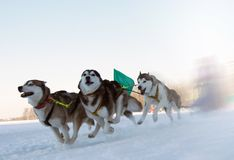 Races on the dog Stock Photography
