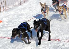 Races on the dog Stock Image