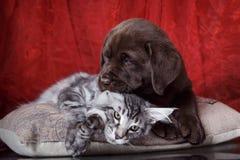 Races Maine Coon de chiot et de chaton de Labrador Images stock