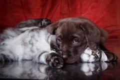 Races Maine Coon de chiot et de chaton de Labrador Photos libres de droits