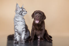 Races Maine Coon de chiot et de chaton de Labrador Photographie stock libre de droits