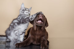 Races Maine Coon de chiot et de chaton de Labrador Photo stock