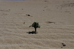 The rachitic flora of Corralejo National Park Stock Images