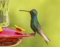 rachunek na szerokie kolibra Zdjęcia Royalty Free