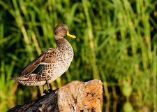 rachunku kaczki kolor żółty Zdjęcie Stock