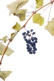 Racimo azul de la uva como pasa Imagen de archivo libre de regalías