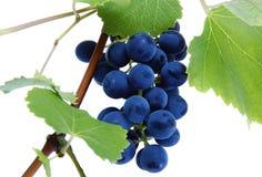 Racimo azul de la uva con las hojas Imágenes de archivo libres de regalías
