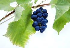 Racimo azul de la uva con las hojas Imagenes de archivo