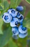 Racimo azul en colores pastel helado del arándano de Amazingness Imagenes de archivo