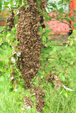 racimo de abejas Imagenes de archivo
