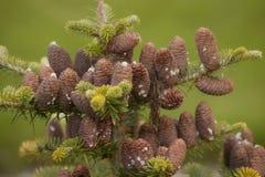 Racimo de conos del pino Foto de archivo libre de regalías