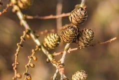 Racimo de conos del pino y de backgroud borroso Imagenes de archivo