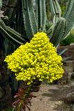 Racimo de flor amarillo en un succulent del arboreum del Aeonium Foto de archivo