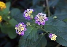 Racimo de flor blanco y amarillo de una planta del Lantana fotos de archivo libres de regalías