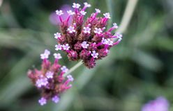 Racimo de flor de Viburmum Imágenes de archivo libres de regalías