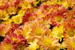 Racimo de flores amarillas brillantes imagen de archivo libre de regalías