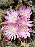 Racimo de flores del Bitterroot - rediviva del Lewisia Fotos de archivo