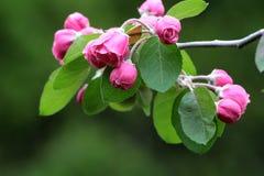 Racimo de flores rosadas del crabapple Imagen de archivo libre de regalías