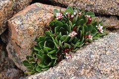 Racimo de flores rosadas en roca fotografía de archivo