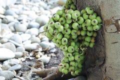 Racimo de higos en el árbol (racemosa de los ficus) Imagenes de archivo