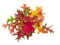 Racimo de hojas de otoño verdaderas Imagen de archivo libre de regalías
