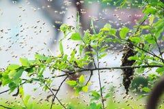 racimo de la abeja en el verano Imagen de archivo