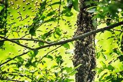 racimo de la abeja en el verano Fotografía de archivo libre de regalías