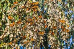 Racimo de la mariposa Fotos de archivo libres de regalías