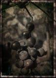 Racimo de la uva Imagenes de archivo