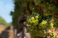 Racimo de la uva de Chardonnay imagenes de archivo